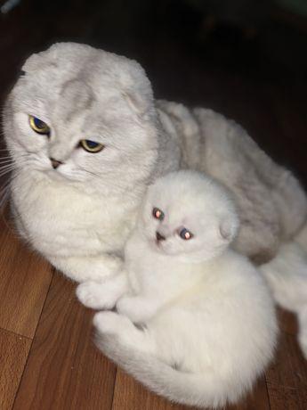 Шиншилловые котята