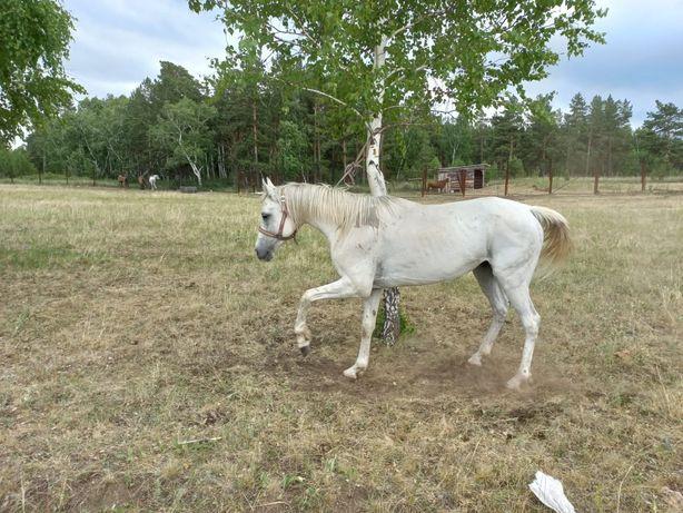 Продам лошадь жеребц англо араб