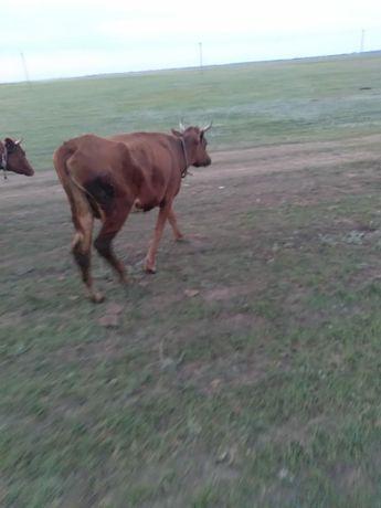 Продам корову. Первотелка