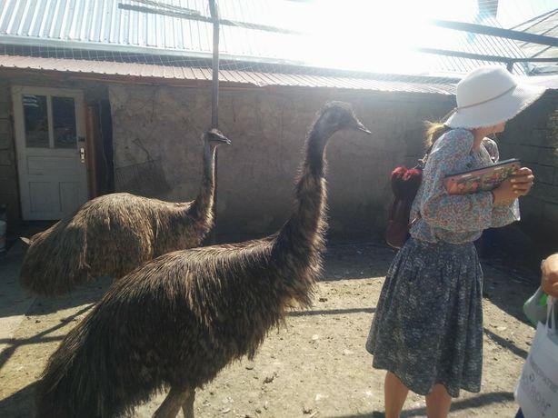 Vand Struti Emu adulti