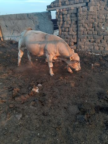 Продам быка аулиекольская порода