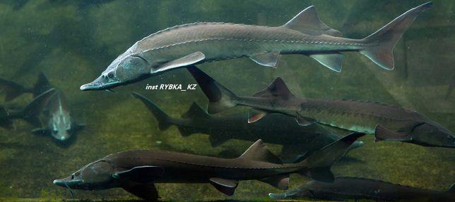 Живая рыба остер балык