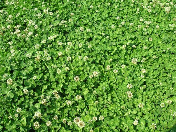 Клевер белый газонный карликовый