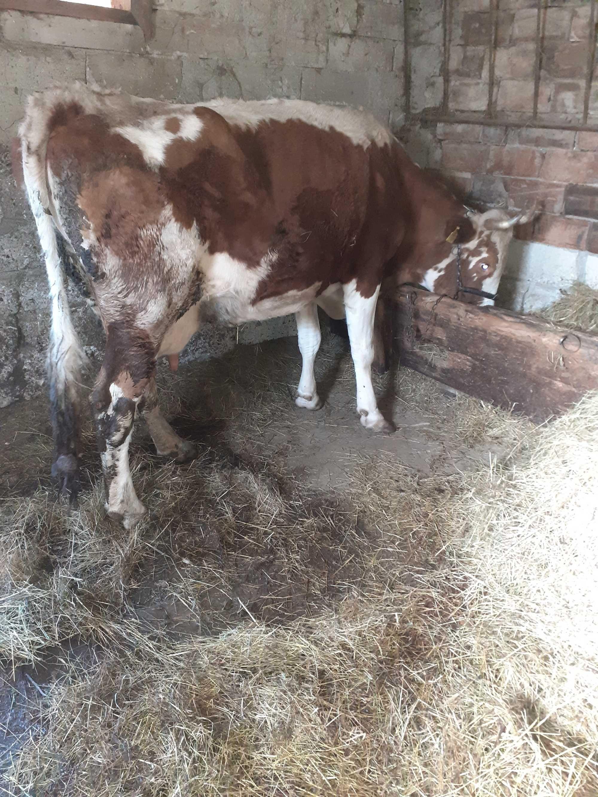 Vand vaca pret 4.500 lei