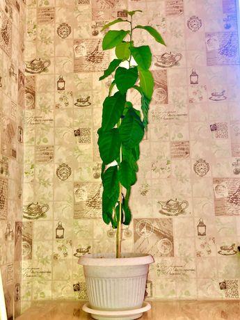 Лимонное дерево 5000 тг