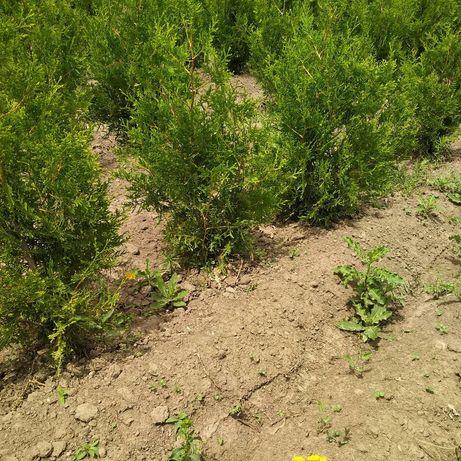 Туи Брабант смарагд газон готовый и посев газона