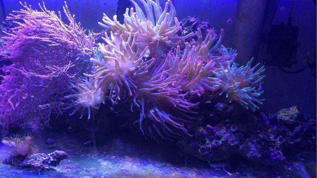 Anemone acvariu marin