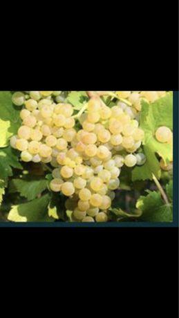 Vand struguri soi cramposie pentru vin, Orlesti