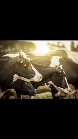Жем Оптом для молочных коров Полезнее чем Отруби Сено