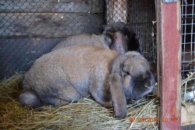 Кролики : Фландеры, Французские барашки