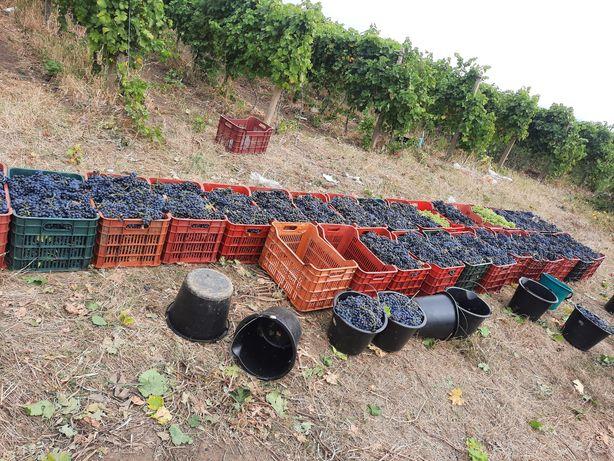 Vând struguri de vin