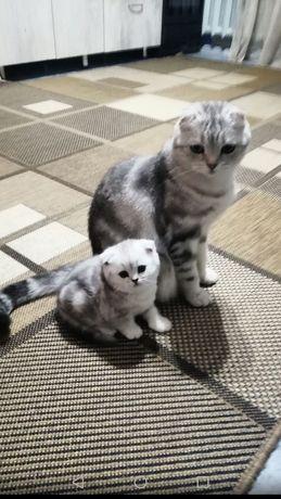 Шотладские мраморные котята!