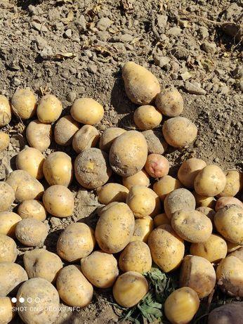 Продаётся картошка , Бурное. Кг 110тг , есть 4 тонны