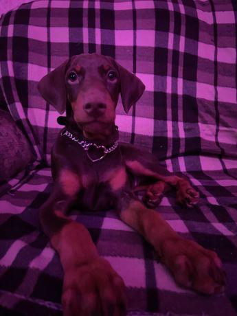 Алиментный щенок добермана