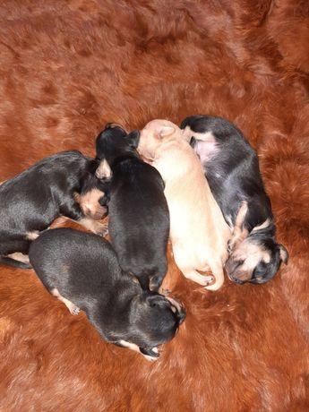 Продам щенят породы карликовый пинчер