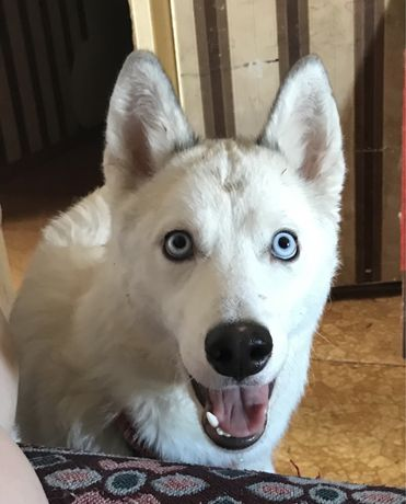 Продам собаку хаски девочка