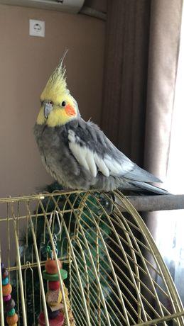 Продаём попугая корелла