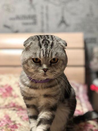 Опытный шотландский кот