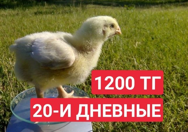 Бройлер Арбор Айкрес Цыплята 20 дней