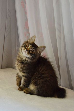 Курильский бобтейл! Котенок! Кот