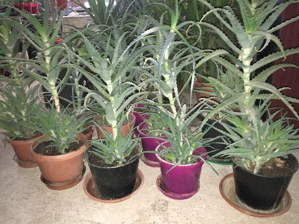 Aloe planta ghiveci 1-5ani( creme,imunizare,etc)