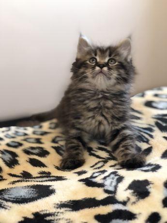 Сибирские котята