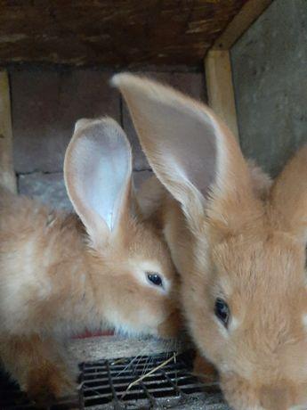Продам кроликов бургунских