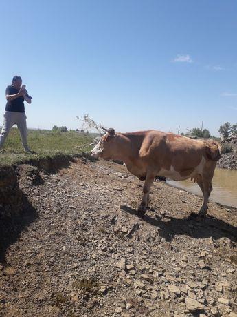 Дойная корова сементалской породы