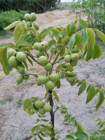 Pomi de nuci pentru plantare