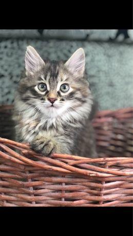 Сибирские котята из первого питомника