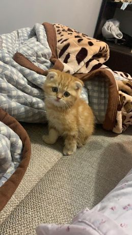 Продам вислоухий кот