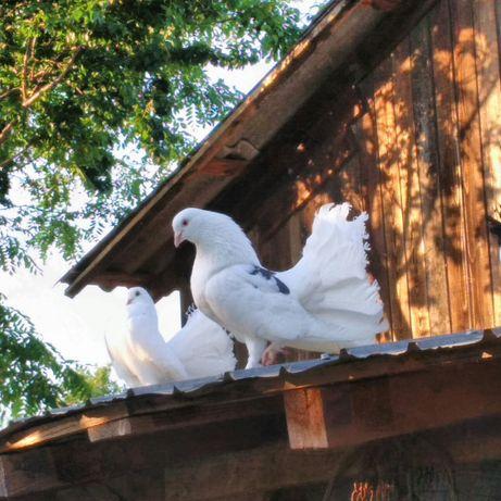Porumbei rotati de vanzare