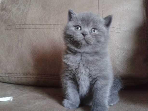 котик голубого окраса шотландский