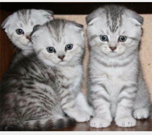Серебристые ультра суперские вислоухие котята