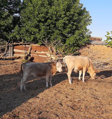 Бычки 4 мес 120000, 5мес 130000.  Корова с теоенком 600000т.
