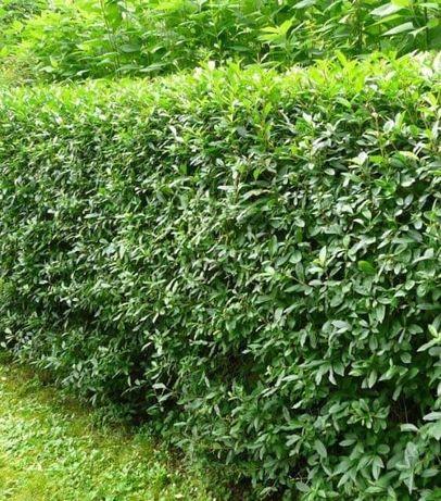 Gard Viu ligustrum / lemn cainesc verde si iarna/ Macese/ fag/ molid