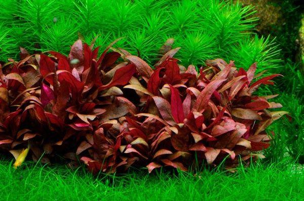 Аквариумные растения Альтернантера Рейнека sp.mini Алматы - сурет 1
