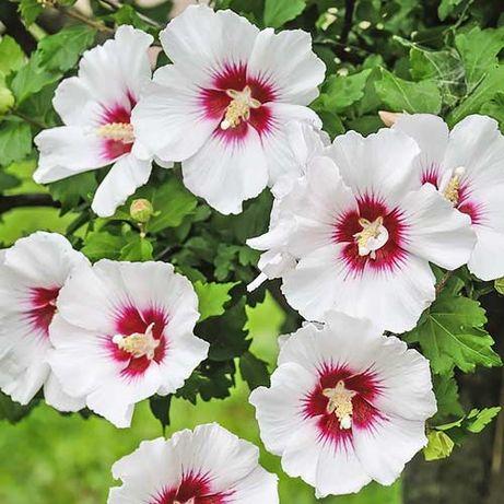 Butasi hibiscus