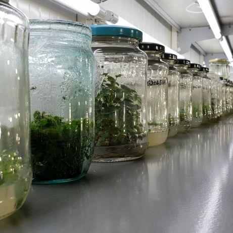 Mur, Afin, Zmeur, Nuc, Alun, Paulownia in vitro