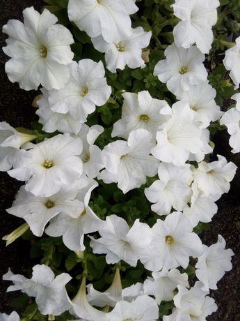 Продажа цветов петунии, тагетиса с доставкой!!!