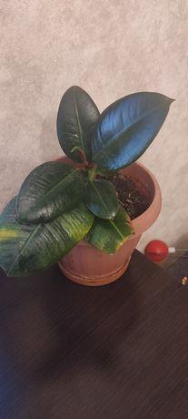 Продам Фикус, цветок благополучия и семейного счастья