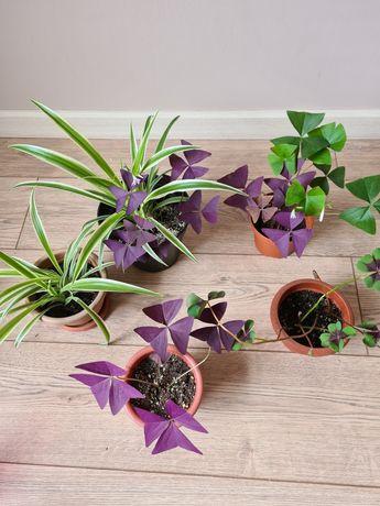 Комнатные цветы: Хлорофитумы , Кислица