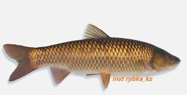 свежая рыба белый амур балык