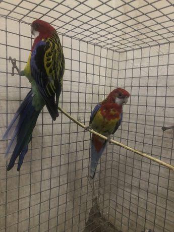 Papagali rozela standard