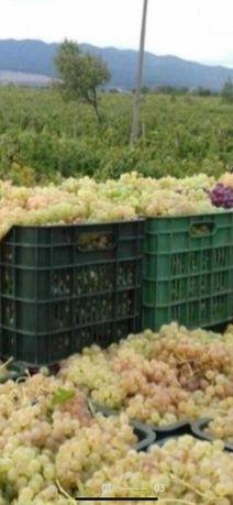 STRUGURI de vin - 2021 viță NOBILĂ