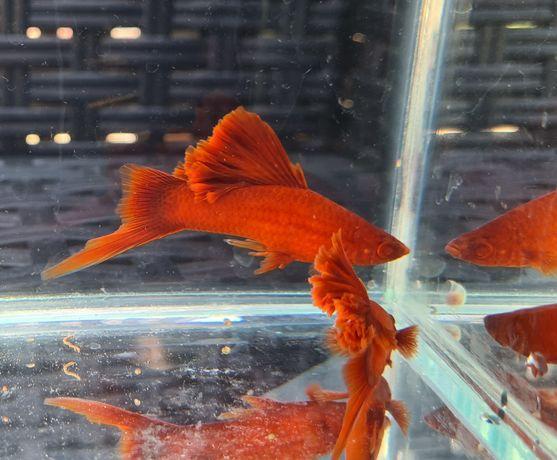 Pesti de acvariu xipho firecracker Guppy fire tail ancistrusi red