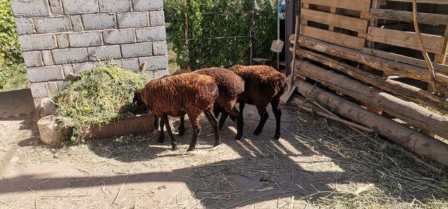 Семіз қой, упитанные овцы