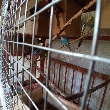 Попугай местный размножаюшиеся породы,продаю вместе клеткой и гнёздами