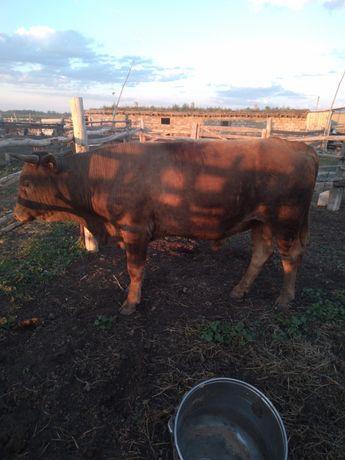 Продам бычков за 1 млн 100000.     Находяться в селе Кызылтан