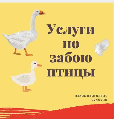 Услуги забоя птицы ГУСИ